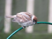 IMG_3224 tree sparrow young