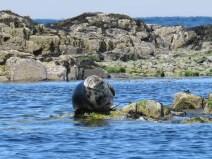 IMG_3563 Grey seal