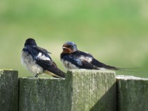 IMG_3863 swallows