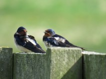 IMG_3865 swallows