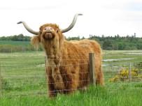IMG_4155 highland cattle