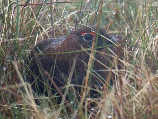 IMG_4229 Red grouse