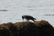 IMG_2950 hooded crow