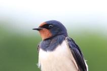 IMG_3042 Swallow