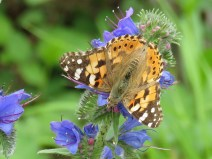 IMG_6062 Painted lady