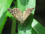 IMG_6123 speckled wood