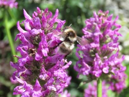 IMG_7599 Sizergh castle gardens bee