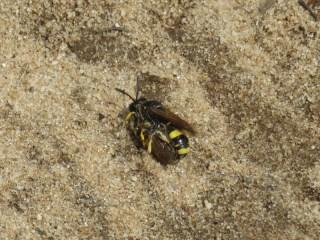 IMG_7928 Bee-wolf