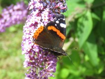 IMG_7958 red admiral