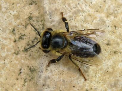 IMG_8283 bee