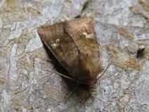 IMG_8299 ear moth
