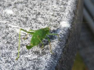 img_9369-speckled-bush-cricket