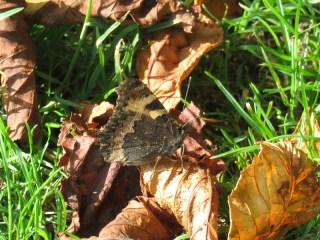 img_9526-tortoishell-in-leaves