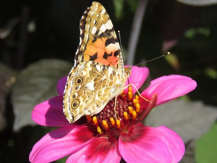 img_9641-painted-lady