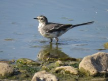 img_9735-jeuv-pied-wagtail
