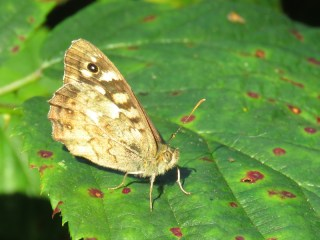 img_9780-speckled-wood