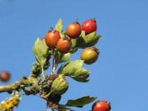 img_9799-berries