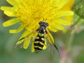 img_9844-hoverfly