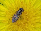 img_9855-hoverfly