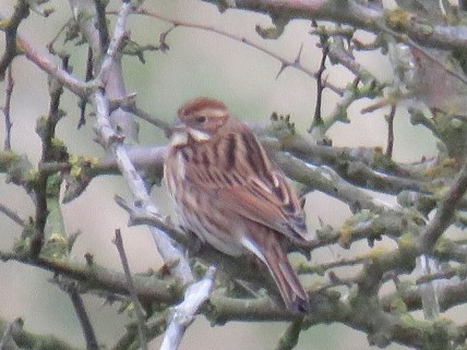 img_0787-reed-bunting-f