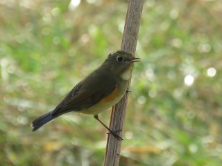 img_0969-red-flanked-bluetail_edited-1