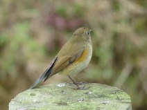 img_0999-red-flanked-bluetail