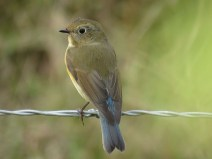 img_1003-red-flanked-bluetail