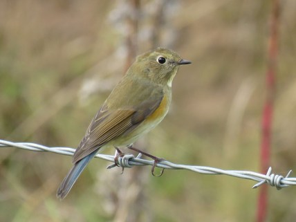 img_1005-red-flanked-bluetail