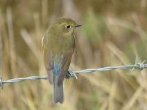 img_1030-red-flanked-bluetail