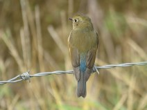 img_1033-red-flanked-bluetail
