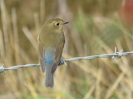 img_1038-red-flanked-bluetail