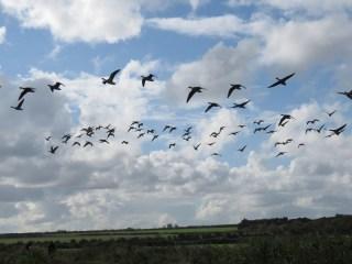 img_1135-greylag-geese