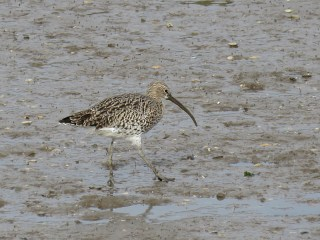 img_1186-curlew