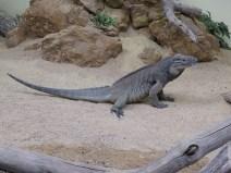 img_1985-rhino-iguana