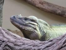 img_1993-rhino-iguana