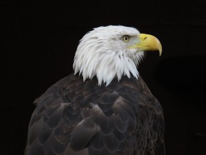 img_1999-bald-eagle