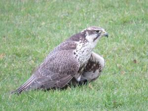 img_2021-saker-falcon