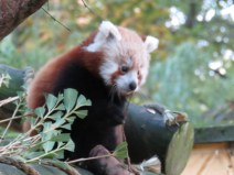 img_2059-young-red-panda