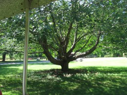 I ultimately decided on this tree to use as my pattern. I found it in Northampton, Massachusetts.