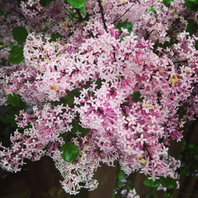 Lilacs on the way home