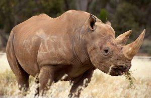 Black Rhino Monarto Zoo