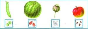 Семена плодов (горох, арбуз, мак, яблоко)