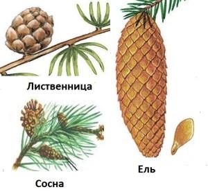 Шишки лиственницы, сосны и ели