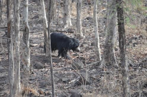 Sloth Bear in Madhai Region