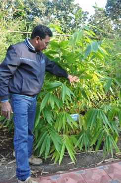 Himalayan Bamboo (Dendrocalamus hamitonii)