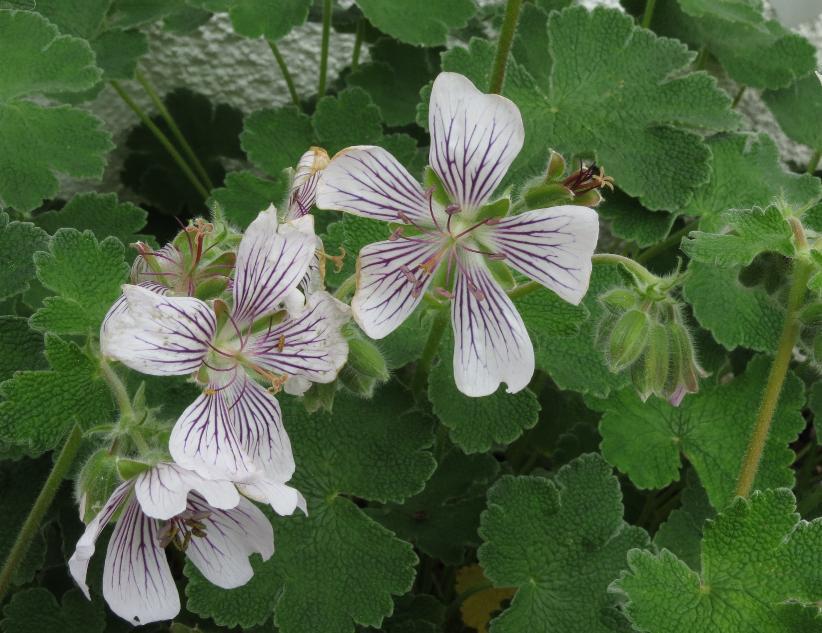 KaukasusStorchschnabel Geranium renardii  Die Pusteblume