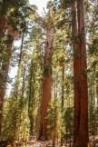 Des arbres, gros et grands ! Au milieu : l'arbre le plus gros du monde !
