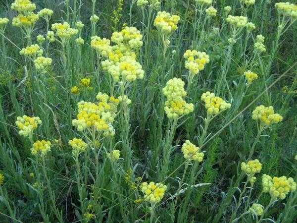 Трава бессмертник лечебные свойства для мужчин. Когда собирать бессмертник для сушки