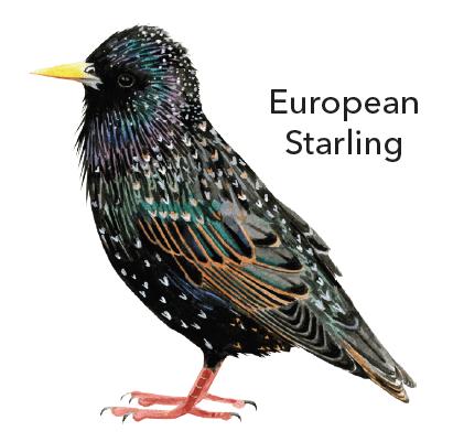 europeanstarling
