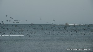 Winter Geese Put in Bay